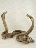 Fighting Asian Spitting Cobra Snakes Taxidermy #34